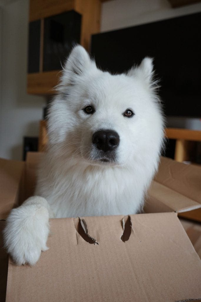 Samojede Hund in der Box