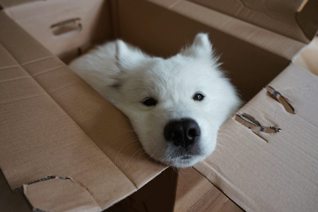 Samojede Hund in box